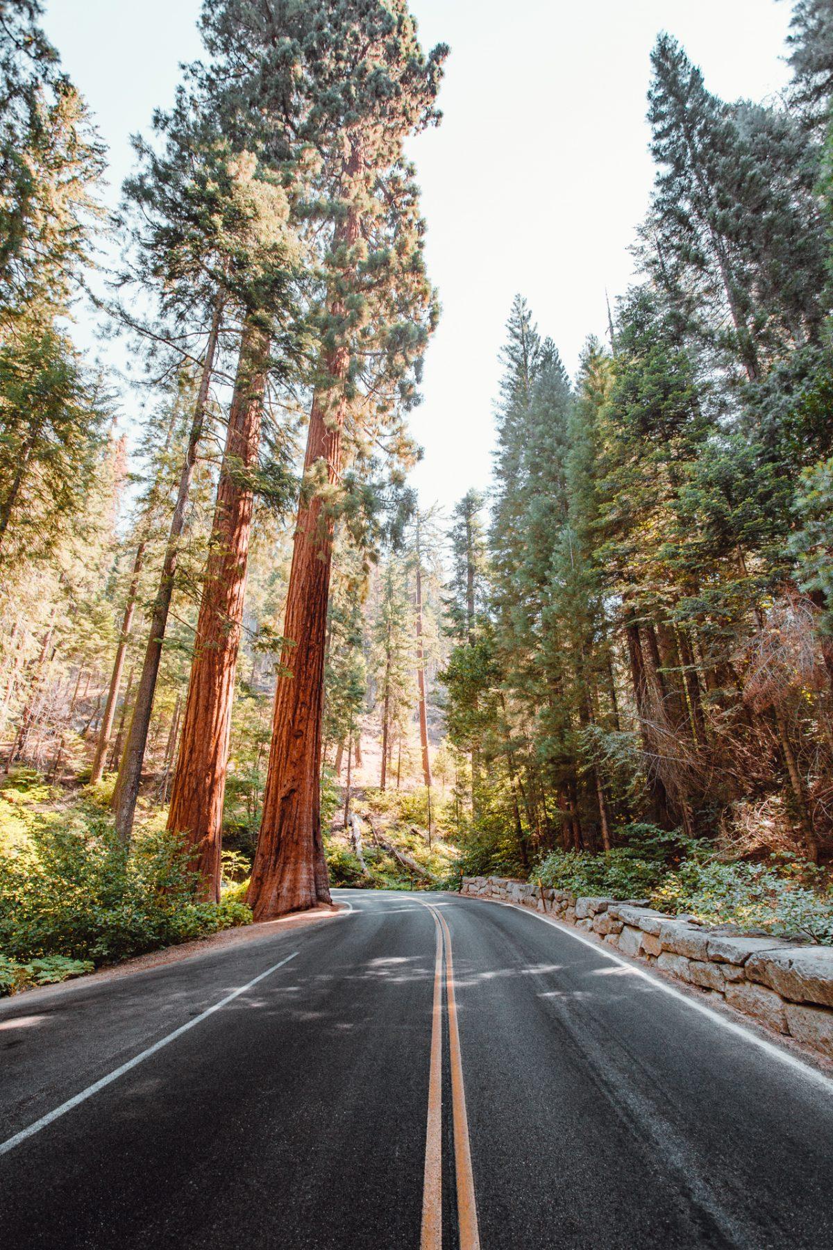 Sequoia, Trees, Fall, Longnecker